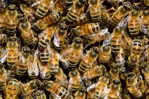 California Honey Bees in Sacramento Garden.